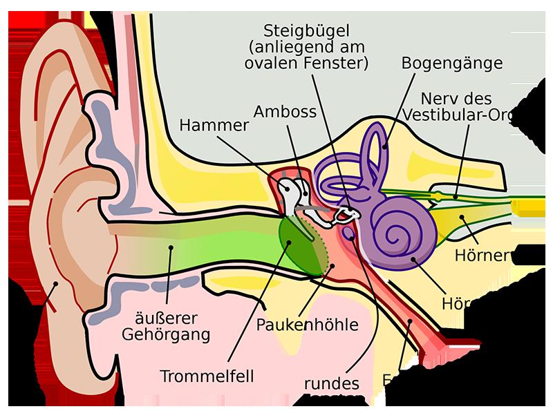 So funktioniert das Ohr